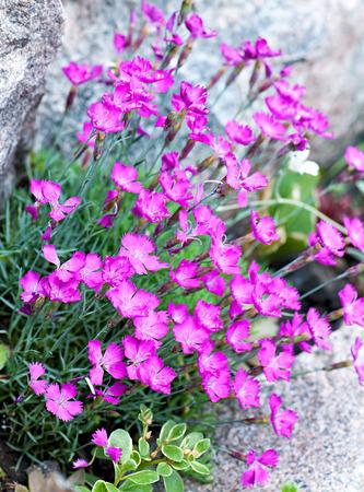 flora: Pink garden flowers, flora.
