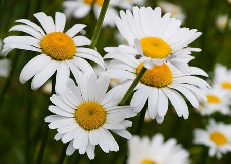 flora: Chamomile, garden chamomile flowers, white flowers, flora.