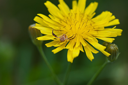 Spider on yellow flower field, flora and fauna. Stock Photo