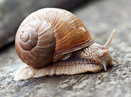 Snail on the old wooden background, fauna, shellfish. Stock Photo