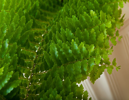Green fern leaves of a houseplant.