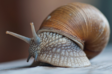 Large forest snail on an old wooden background, fauna.