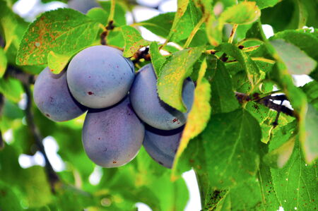 a lot of plums on tree Stock Photo