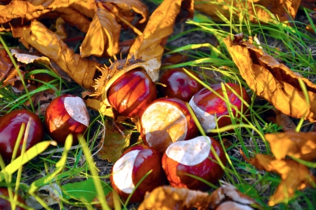 close up of conkers with leaves Stock Photo
