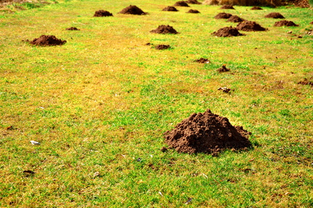 close up of many molehills on the grass Stock Photo