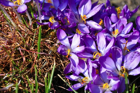 crocus flower with bees in spring photo