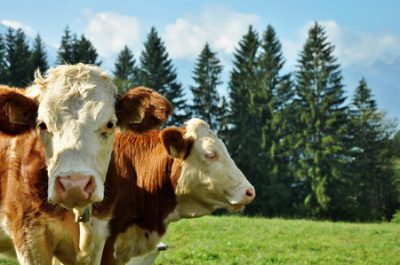 ALPS, AUSTRIA, SEPTEMBER 28, 2009: cows in alps Editorial