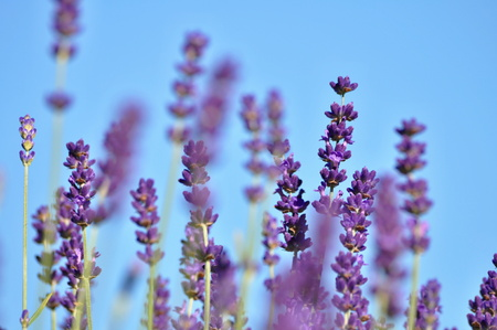 beautiful lavender background in nature 写真素材