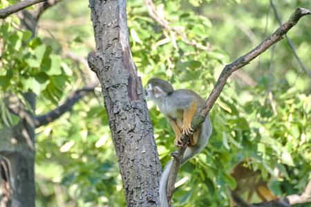 sciureus: Close up of Saimiri monkey on branch in wild nature Stock Photo
