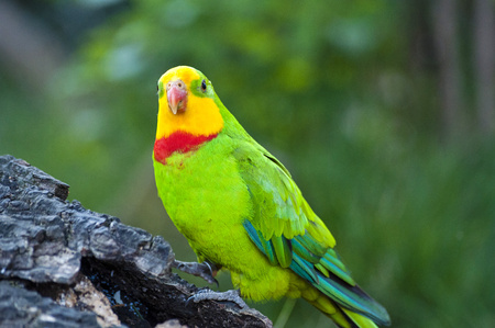 Close up of green parrot with yellow head and red neck in nature,