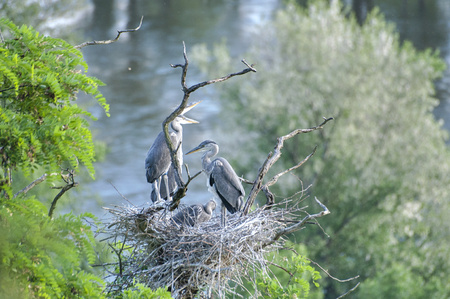 herons: Herons with young birds in nest in top of trees.