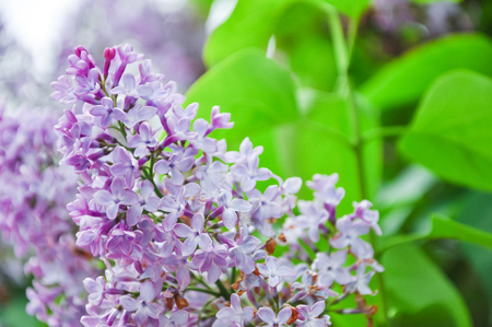 Beautiful lilac flower with green leaves on a tree. Syringa vulgaris, purple and violet spring flower in nature Stock Photo