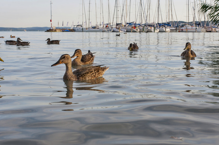 Ducks in port with yachts in background. Parking boats and ducks in water.