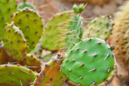 Closeup of Opuntia with blurry background in nature. Cactus Opuntia Standard-Bild