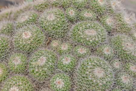 Closeup of cactus. Texture of echinocactus. exotic succulent in nature