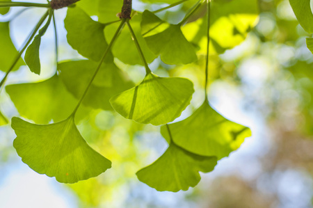 Green leaves in golden sunshine. Natural blurred background. Gingko biloba leaves in nature with sunshine