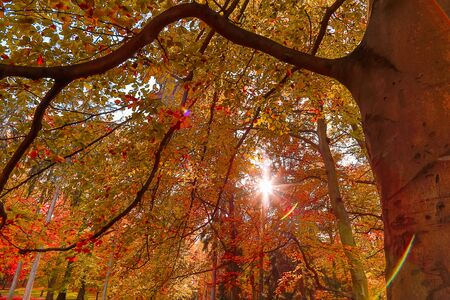 autumn nature. View to tree top in park with red colored leaves in autumn with sun rays. Landscape Banque d'images