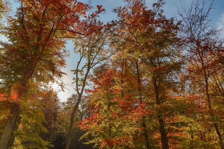 autumn nature. View to tree top in park with red colored leaves in autumn with sun rays. Landscape Zdjęcie Seryjne