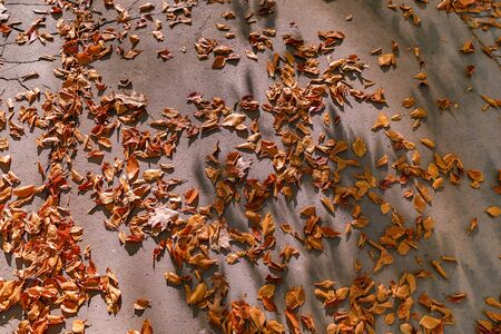 autumn nature. Fallen colored  leaves on ground in park in autumn. Closeup of leaves Zdjęcie Seryjne