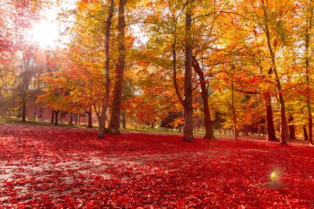autumn nature. Path in park covered fallen red colored leaves in autumn with sun rays.