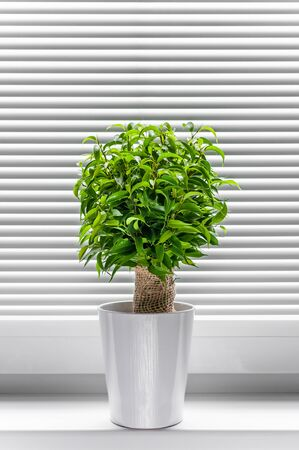 Ficus ginseng, species of evergreen woody plant in the fig genus. Ficus isolated, on white background.