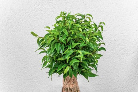 Ficus ginseng, species of evergreen woody plant in the fig genus. Ficus isolated, on white background. Banque d'images - 147890942