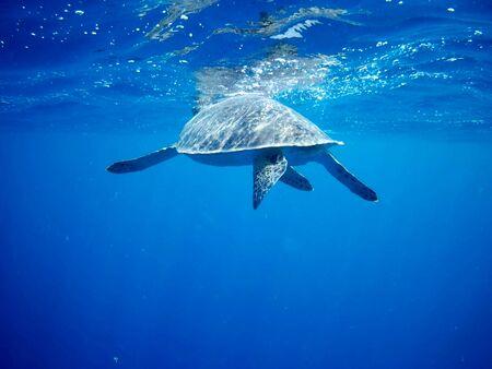 Beautiful Green sea turtle in Marsa Alam, Egypt