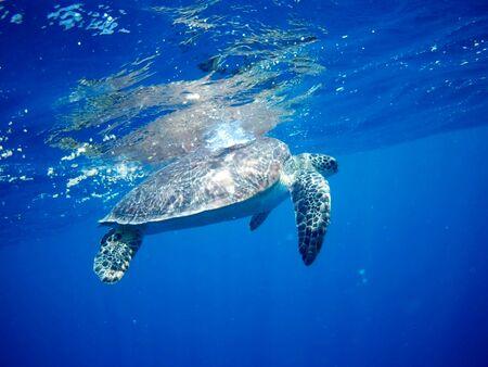 Belle tortue verte à Marsa Alam, Egypte Banque d'images
