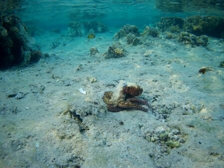 Octopus bizarrely changes color and texture while hunting in the shallow waters of the Red Sea, Marsa Alam, Egypt Reklamní fotografie
