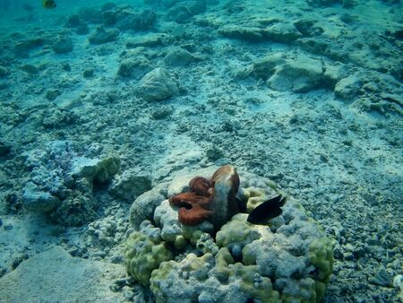 Octopus bizarrely changes color and texture while hunting in the shallow waters of the Red Sea, Marsa Alam, Egypt