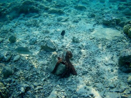 Octopus bizarrely changes color and texture while hunting in the shallow waters of the Red Sea, Marsa Alam, Egypt Reklamní fotografie - 140159849