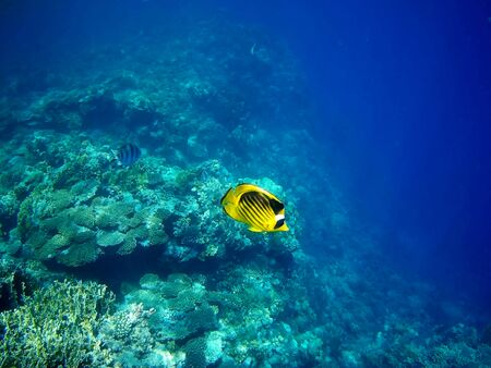Beautiful tropical fish and coral reef near Utopia beach, Marsa Alam, Egypt