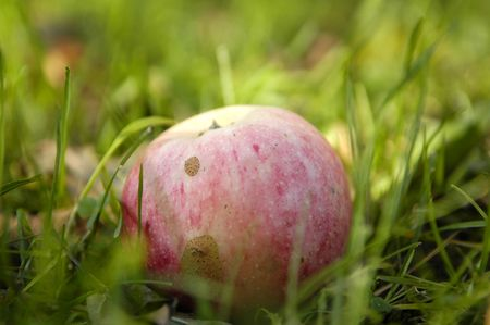 apple fall from tree on ground photo