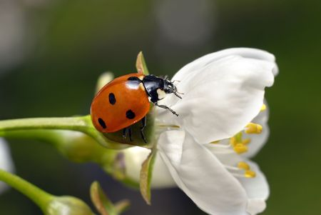 ladybug standing on white flower Stock Photo - 5724991