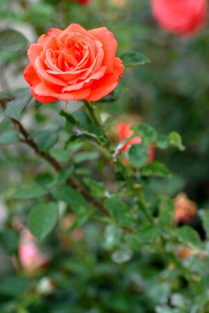 One red dismissed rose photo
