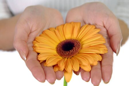 womans hands holding orange gerbera  Stock Photo