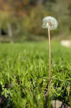 dandelion in the meadow on the green background photo