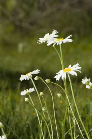 chamomile in the field