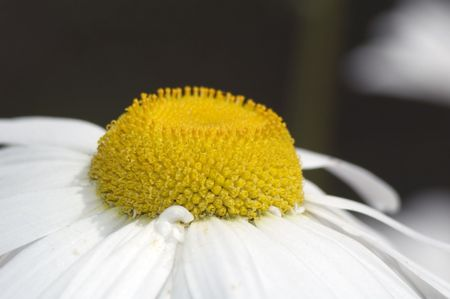 chamomile in the field close up