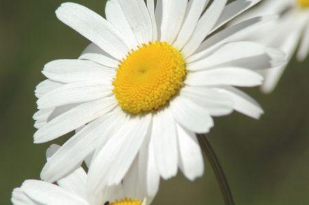 marguerite close up