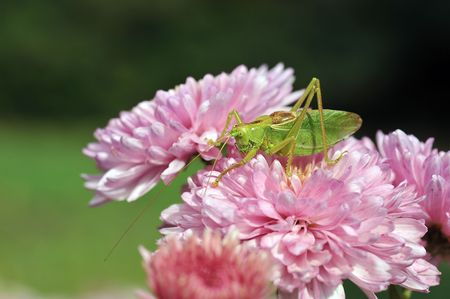 grasshopper on the pink flower photo