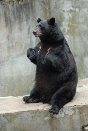 cute black bear in zoo