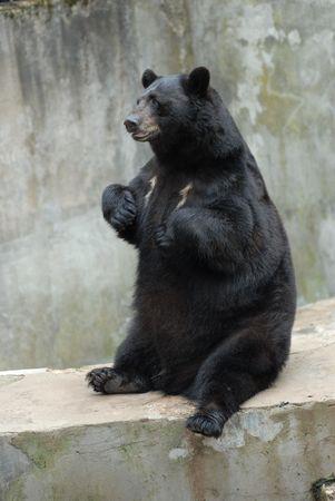 oso negro: negro lindo oso en zool�gico