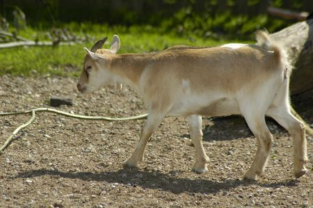 grassy knoll: liitle goat in the zoo