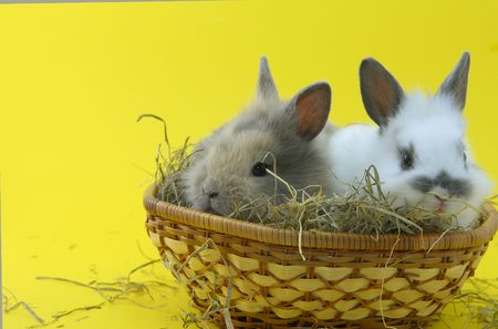 small rabbits isolated on yellow background photo