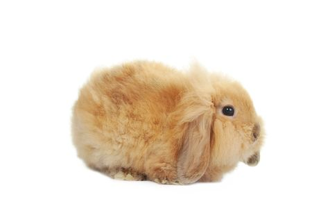 brown  fluffy rabbit sits in  box for  gift photo