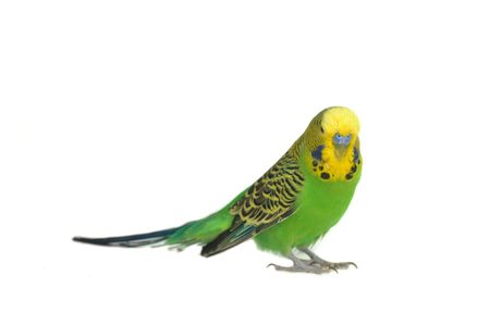 close-up portrait of  budgerigar on white Stock Photo - 5947533