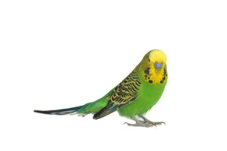 close-up portrait of  budgerigar on white Stock Photo - 5947533