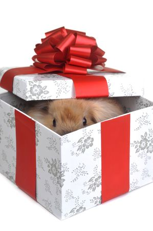bunny xmas: brown  fluffy rabbit sits in  box for  gift