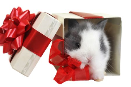 white  fluffy rabbit sits in  box for  gift photo